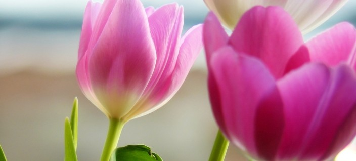 1316-pink-tulips-1920x1200-flower-wallpaper
